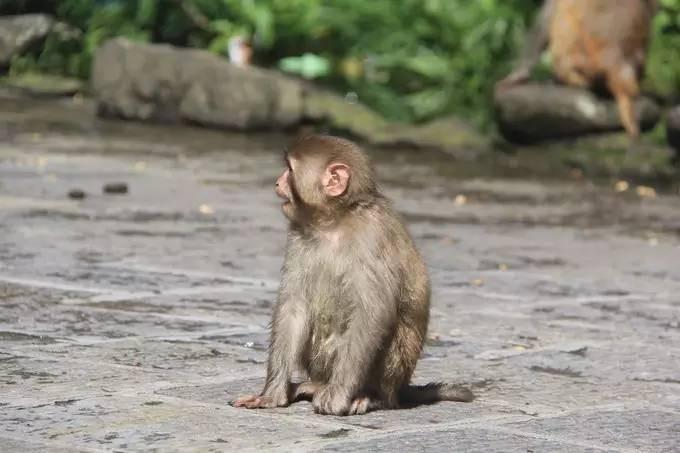 猴子成群,一点也不怕生,围着游客转.