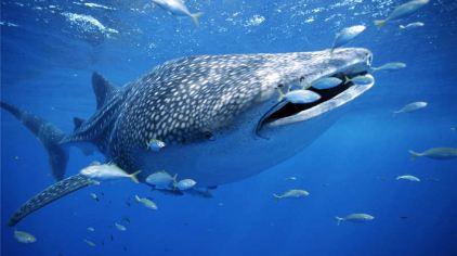 壁纸 动物 海洋动物 鲸鱼 桌面 422_236