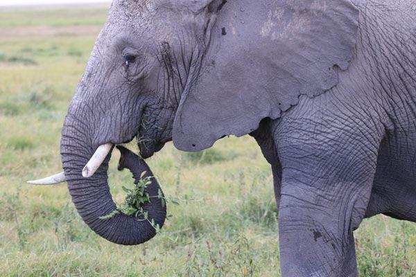 大象吃草图片