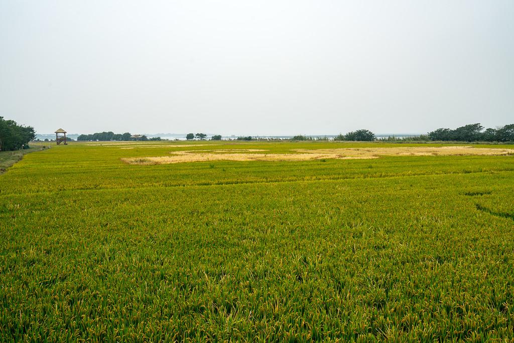 春天是彩色的油菜花,现在这个季节则是彩稻,展示出了稻田里的色彩
