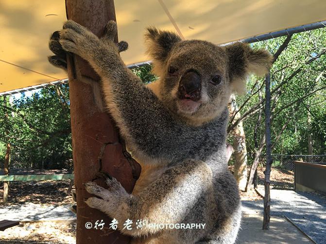 7、道格拉斯港野生栖息地(Wildlife Habitat Port Douglas) 库兰达考拉园和道格拉斯港野生栖息地还没有去过,不过就是我去的这些地方,已经足够萌翻了很多人。也有澳洲的动物保护主义者认为抱着考拉会让它紧张,会减少寿命,可是当你看见它的那副萌样的时候,根本忍不住啊。我拍过一个视频,叫做《活力昆士兰》,就是因为这些可爱的萌宠让整个旅途充满了活力。以前,我不屑于流连于这些类似公园的地方,总以为是旅行团玩的就没意思,这次走完让我有所改观,生活不光只是无人的纯风景,有时候也需要这些可爱的小家