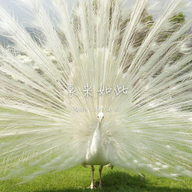 罕见的白色孔雀,推荐孩子去玩,非常有趣的地方