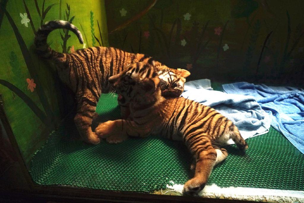 可爱滴小老虎