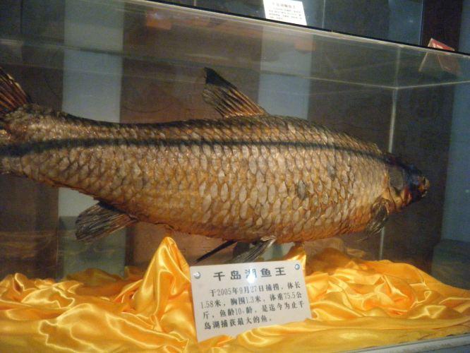 千岛湖鱼王