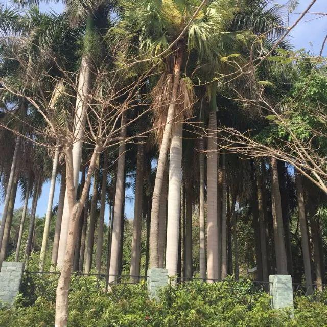 日光岩下面的椰子树