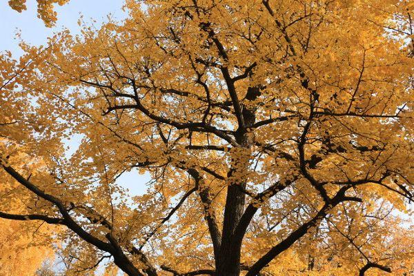 银杏树叶粘贴画秋天