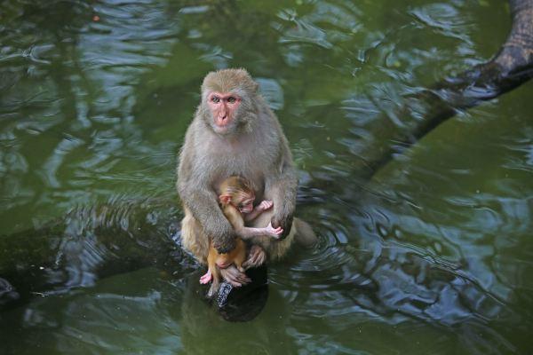 小猴子在猴妈妈的怀抱下,特别可爱.