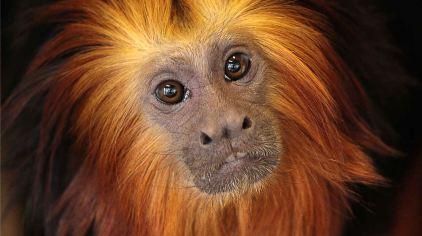 还有金头狮面狨,水汪汪的大眼睛,这些小可爱们有萌到你们了吗?