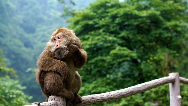 好彪悍的猴子,进了这个区域感觉随时可能被抢劫啊,猴子超级霸道的,会抢你手上所有拿着东西,口袋里但凡有点露出点东西,也会被掏走,更有猴子直接跳到游客头上,好不威风。逗猴子千万要小心,门口有医务处会简单处理下伤口。