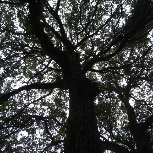 贵州梓木树 图片