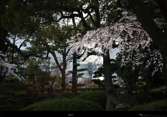 唯美 灿烂/作为春天的象征,在春天樱树上会开出由白色、淡红色转变成深...