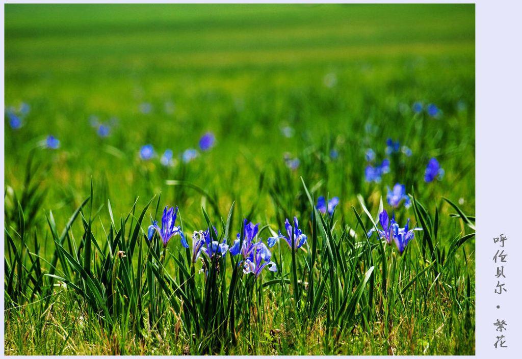 马莲花,又名马兰花,兰花草,蓝蝴蝶,紫蝴蝶,是鸢尾科,多年生草本植物.