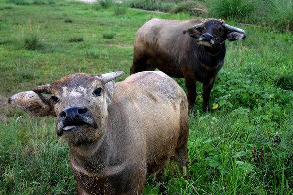 清晨放牛的农民赶牛过桥好美啊