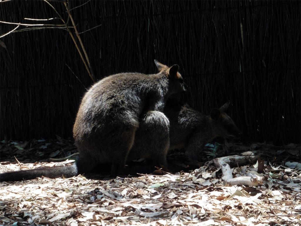 悉尼塔隆加动物园--贴近自然的美!