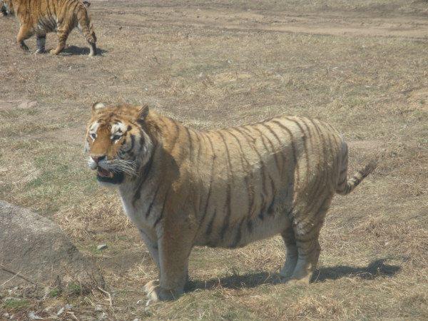 东北虎 林园 是在保护 我国 珍稀 动物 东北虎的 基础上 ,本着 放虎归