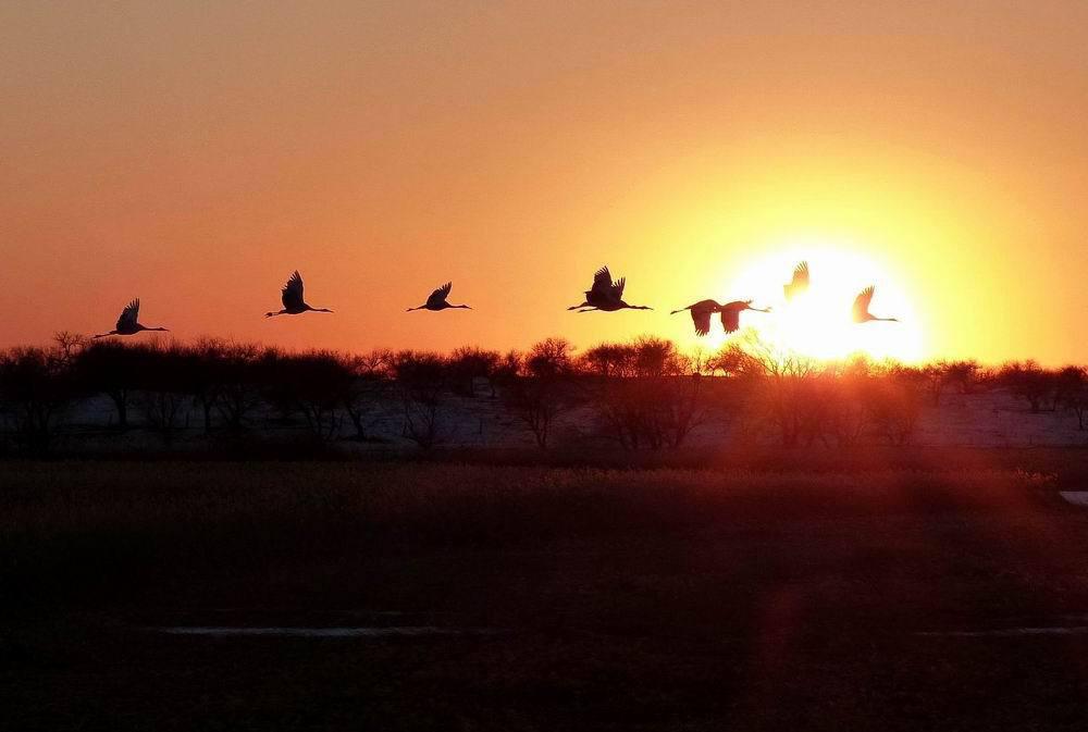 丹顶鹤时而翱翔在夕阳下的芦苇海中,时而穿行于火红的太阳中!