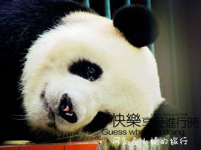看完了小熊猫,就来看国宝大熊猫吧.