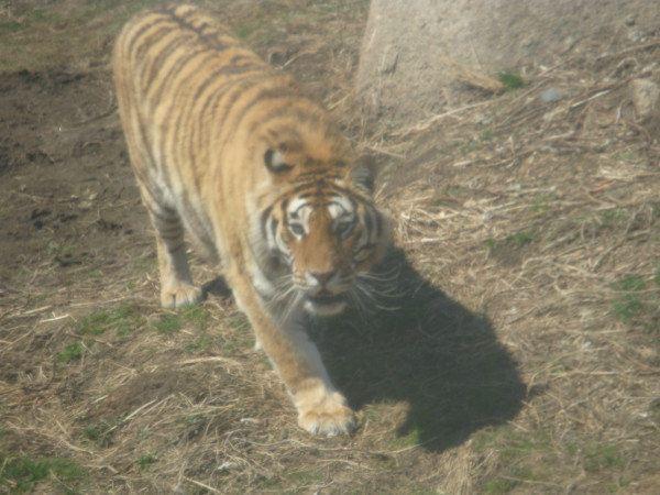 东北虎 林园 是在保护 我国 珍稀 动物 东北虎的 基础上 ,本着 放虎