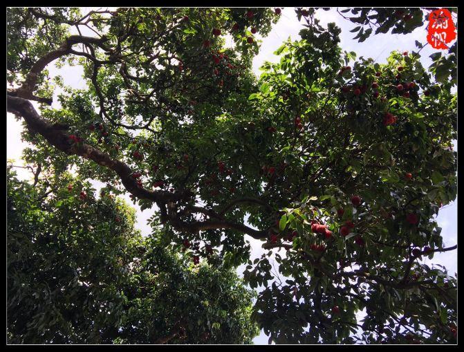 【广西灵山】走进荔枝之乡,采摘千年古荔 - 渝帆 - 渝帆空间