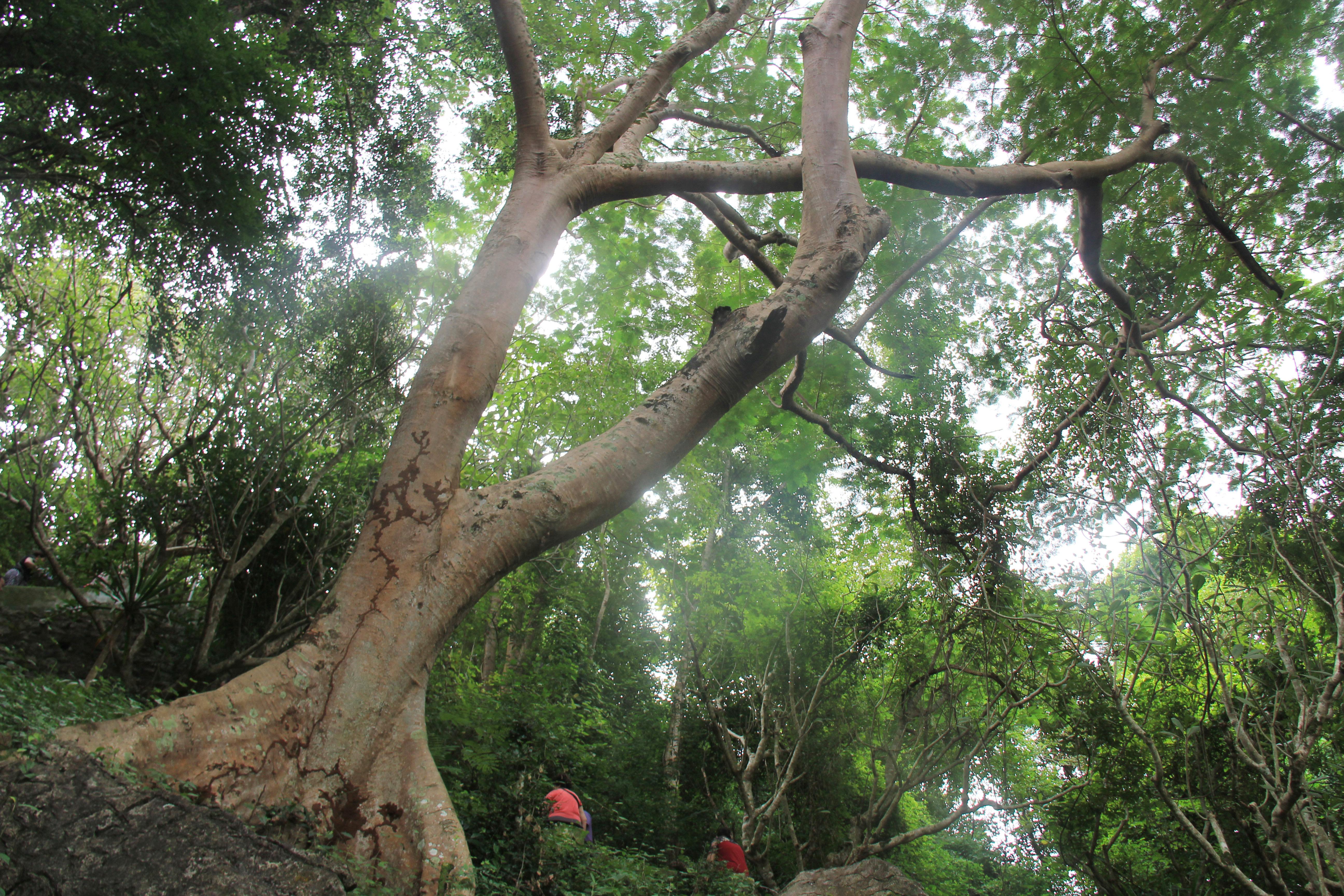 壁纸 树 榕树 5184_3456