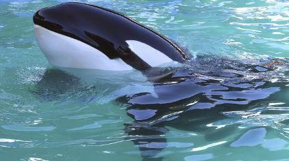 壁纸 动物 鲸鱼 422_236