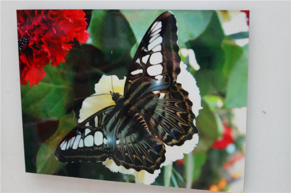 蝴蝶是会飞的花朵,蝴蝶在动物界里属于昆虫纲,因其翅表和翅里都密布