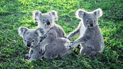 做为世界上首座以及现最大规模的考拉保护区,龙松考拉动物园内现有