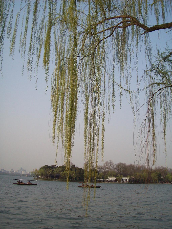 壁纸 垂柳 风景 柳树 摄影 树 桌面 1024_1365 竖版 竖屏 手机