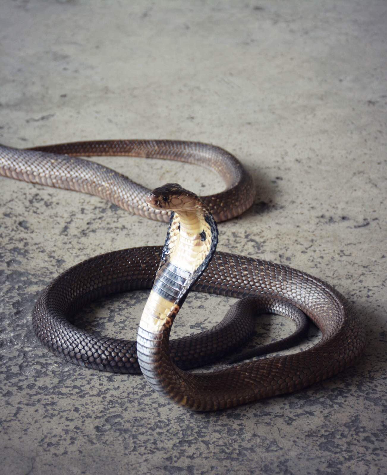 48段魔尺眼镜蛇步骤图