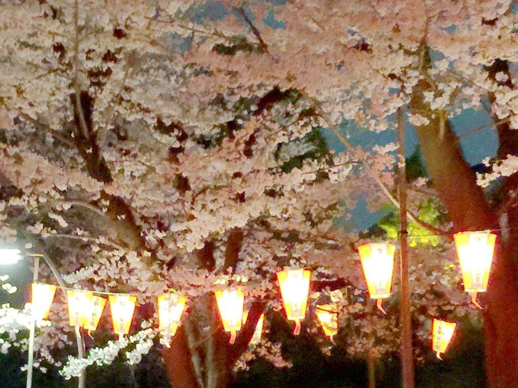 灯笼画上的手绘图樱花