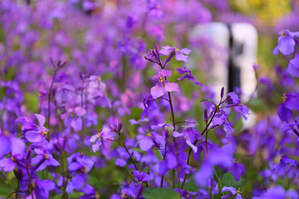 这个春天,一起相约顾村公园看樱花
