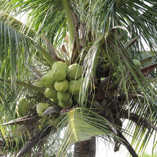好大的椰树~~好大的椰子哦