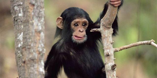 动物世界黑猩猩