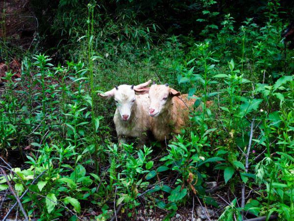 偶然羊群,可爱的小羊互相依偎着,互相嬉戏