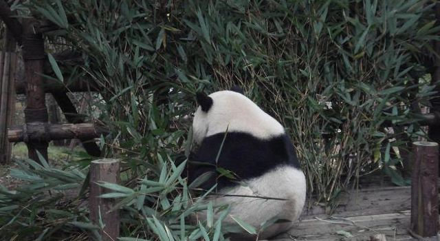 走进小熊猫宝宝喂养中心,终于近距离看到熊猫仔了.