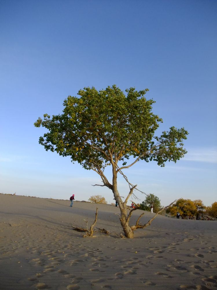 内蒙古游记之额济纳怪树林