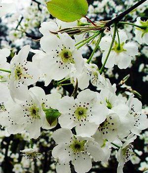 并在去年秋冬季节对梨树进行了深翻,扩穴,增加营养,并施用适量的赤霉
