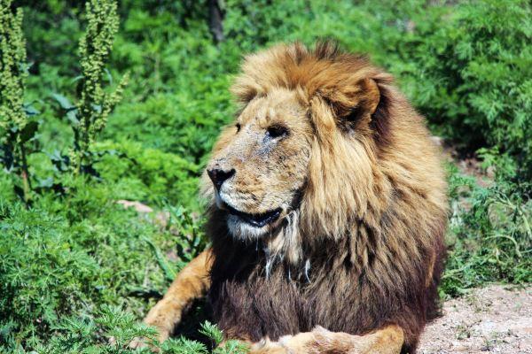壁纸 动物 狮子 桌面 600_400