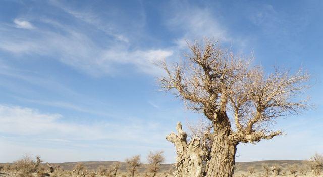 经过千百年的风雨,烈日和沙尘的洗礼,老胡杨树粗壮的躯体扭曲成各种
