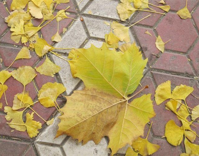 这片大树叶是不是抢镜了,银杏树叶倒成了陪衬,哈哈.