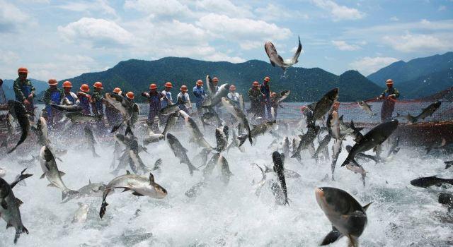 """"""",这是地地道道的千岛湖有机鱼,由于水质好,烹饪技术好,鱼儿特别鲜,没"""