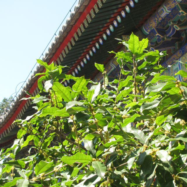在仁寿北殿前,几棵桂花树尤其茂密,桂花已经成片的怒放,但是,由于