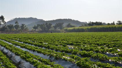 聚龙岛生态园草莓甘蔗采摘 (5).jpg