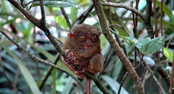 在 薄荷岛千万不要错过在眼镜猴游客中心观赏这种可爱的小精灵.