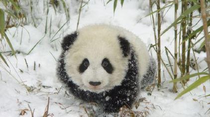 中华国宝区是杭州野生动物世界专门邀请美国专家设计