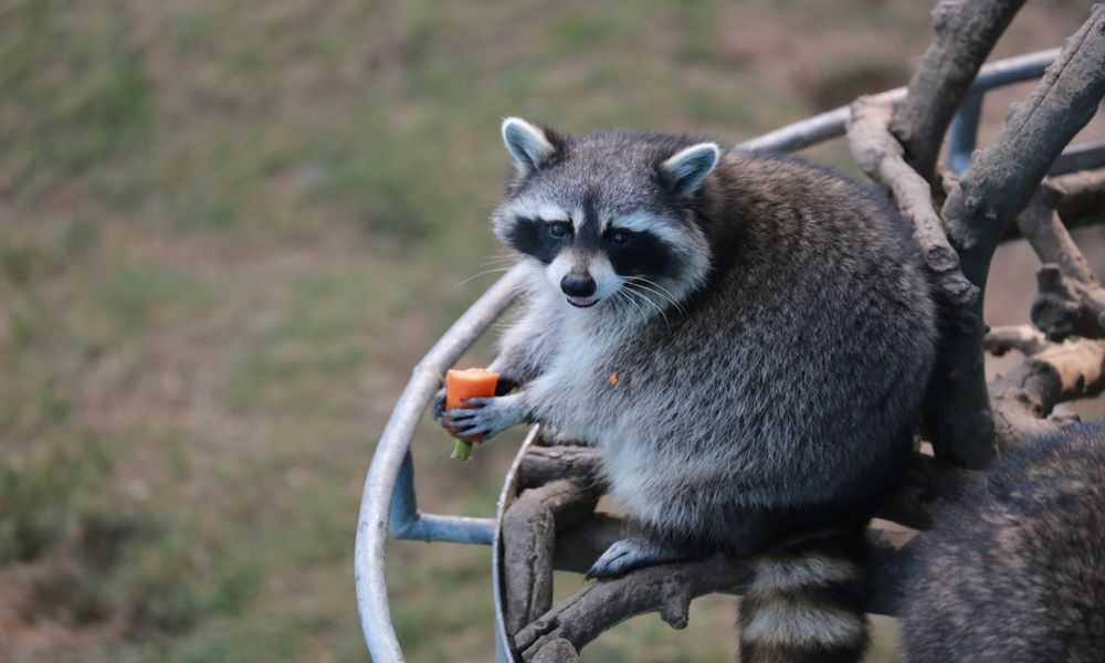 西霞口神雕山野生动物园位于山东威海荣成成山镇西霞口,是西霞口旅游度假区下属景区之一。  威海西霞口动物园全区占地3800亩,辟有猛兽区、猴子山、松鼠园、猛禽园、爬行馆、草食动物区、珍稀猴区、猩猩园、百鸟园、熊乐园、熊猫馆、非洲动物区、儿童科普乐园、海洋动物区、花鲸馆、海洋馆等大大小小几十个动物栖息地。威海西霞口动物园是全国最大的、风格最独特的海岸野生动物自然保护区,是可以一园饱览陆海空动物的第一动物园,共拥有国家一、二类保护动物300多种,4000多头(只)。这里良好的自然环境,适宜的气候条件适合多类动物