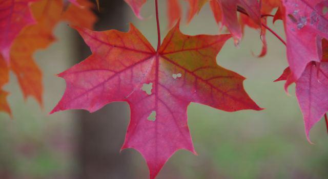 有的枫叶已经很红了,大部分的是黄的,还有少数绿转黄过程中的.