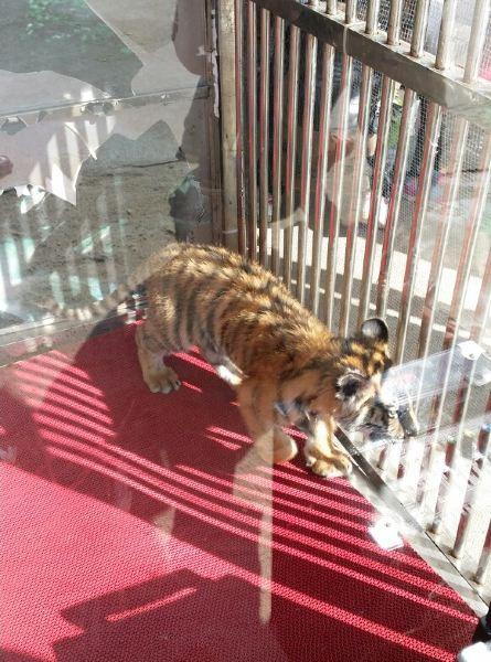 岛上的小老虎,照相收费,55一张