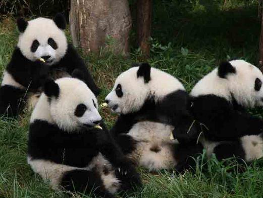 成都大熊猫繁育基地图片