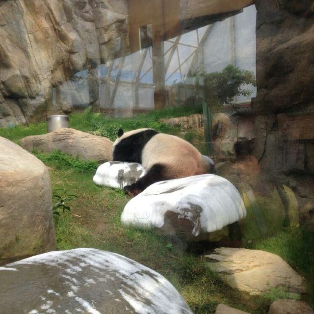 四川稀有动物馆 熟睡的国宝